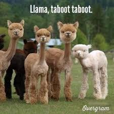 Llama Meme - shaved llama meme 28 images shaved llama meme 28 images shaved