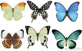 what does a lepidopterist do with pictures