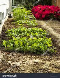 home vegetable garden next house flowers stock photo 103144037