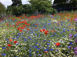the wild flower meadow in barnard park thornhill square