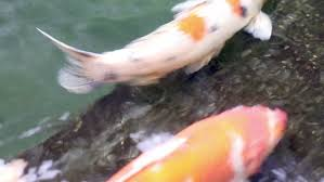 ornamental koi fishes swim in floor pond stock footage