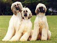 afghan hound lifespan breed profile