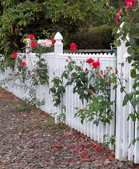beautiful rose on white fence backyard garden with gravel