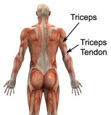 Anatomy Of Shoulder Muscles And Tendons Triceps Tendonitis Triceps Tendinitis Physioadvisor