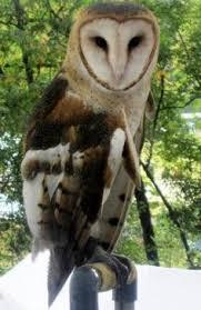 North American Barn Owl Magical Barn Owl Black Barn Owls Are Rare But She Looks Too