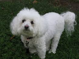 bichon frise therapy dog dog breeds 101 bichon frise dog cat and other pet friendly