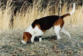 bluetick coonhound obedience treeing walker coonhound history u0026 training temperament