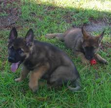 belgian shepherd louisiana ezee gama m3 dob 7 15 2016 advanced canines of svetdanhaus a