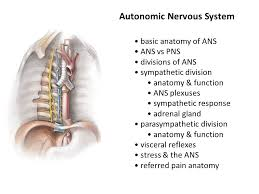 Basic Anatomy Of The Ear Autonomic Nervous System Ppt Video Online Download