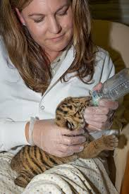 sumatran tiger cub born at san diego zoo safari park