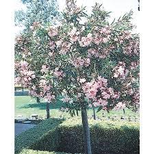 shop 2 gallon oleander tree form flowering tree l24109 at