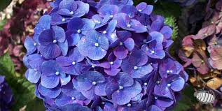purple hydrangea purple hydrangea flower colors growing varieties change pant