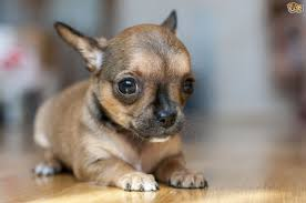 why do chihuahuas and other small dogs shiver pets4homes