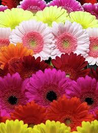 gerbera colors 370 best gerbera images on beautiful flowers