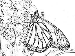 monarch butterfly into obedient plant blooms line drawing u2026 flickr