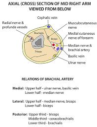 Arm Cross - instant anatomy limb areas organs arm anterior cross