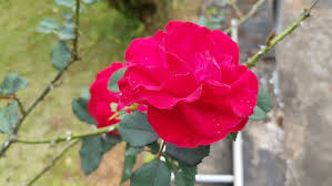 beautiful and attractive rose flower in a garden stock footage