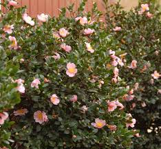 Best Fragrant Plants Everyone Loves A Fragrant Hedge The Pink A Boo Camellia U0027s