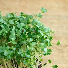 How To Grow Vegetables by Garden Cress Also Called Broadleaf Cress And Other Cresses Curly