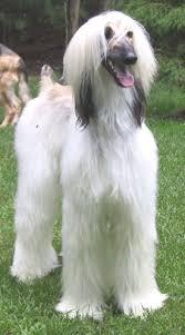 afghan hound black hair kaschmir