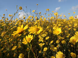 yellow daisy wallpapers daisies yellow daisies field blooming in spring cute wallpaper