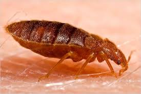 What Kills Bed Bug Eggs Sleeping With The Enemy Bed Bugs The New York Times