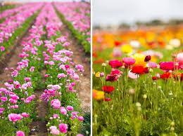 carlsbad flower garden christine hanks photography blog carlsbad flower fields