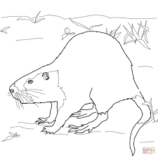 skunk coloring pages nutria rat coloring page free printable coloring pages