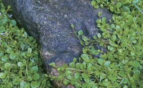 covering ground with creeping plants fine gardening