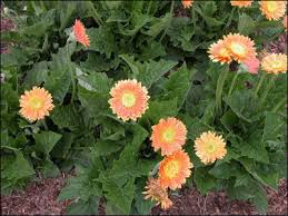 gerbera plant plant id flowers and foliage gerbera florida master