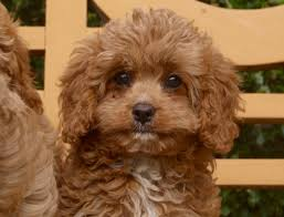 cavapoo puppies for sale new jersey puppies for sale breeders