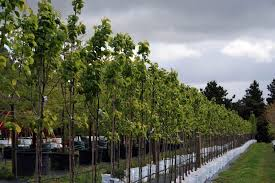 capital pears winter hill tree farm