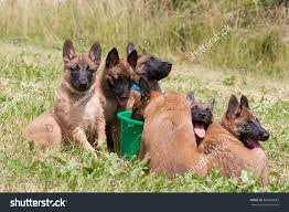 belgian sheepdog breeds belgian shepherd puppies stock photo 369636683 shutterstock