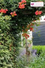 campsis summer jazz my perfect garden