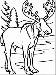 bull moose animal coloring pages womanmate com