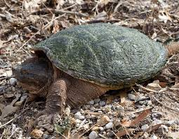 snapping turtle common snapping turtle mdc discover nature