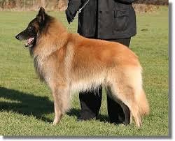 belgian shepherd national specialty corsini belgian shepherd dogs tervuerens