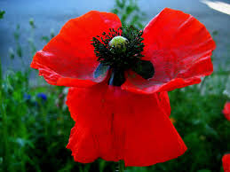 the red poppy and memorial day