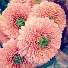 gerbera daisies best 25 gerber daisies ideas on gerbera colors