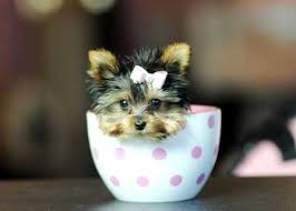 cost of a bichon frise how much does a теаcup yorkie cost before finding out the exact