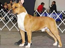 american pitbull terrier akc amstaff sbigstaff american staffordshire terrier kennel new