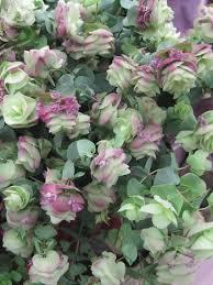 ornamental oregano origanum rotundifolium kent from