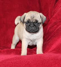 puppies for sale pa pug puppies for sale in pa lancaster puppies