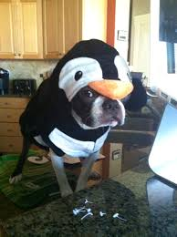 Frenchie Halloween Costume Boston Terrier Costume Penguin 2013 Boston Terrier Halloween