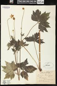 native plants wisconsin online virtual flora of wisconsin anemone virginiana
