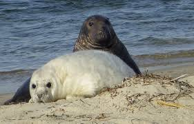 hexacopter u0027 boon to seal pup count off nantucket news