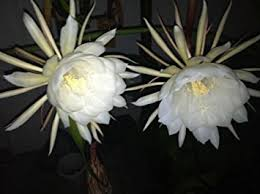 blooming cereus of the blooming cereus white