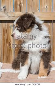 8 week old mini australian shepherd australian shepherd black tri puppy red tri stock photos