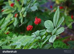 ginseng berries stock photo 678437305 shutterstock