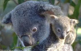 interesting facts koalas fun facts